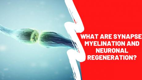 Synapse, Myelination and Neuronal Regeneration